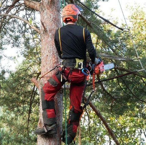 A tree care professional trimming branches from a pine tree in order to benefit the health of the tree.